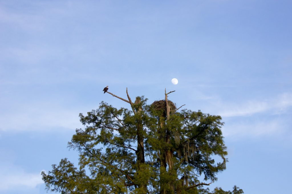 There was a family of ospreys, and we did eventually find their nest.